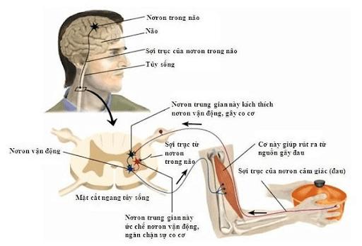 Vì sao nói dây thần kinh tủy là dây pha?
